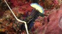 Mud Spine Lobster Walks On Corals