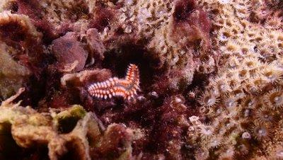 fire worm - Hermodice carunculata Fuerteventura Spain