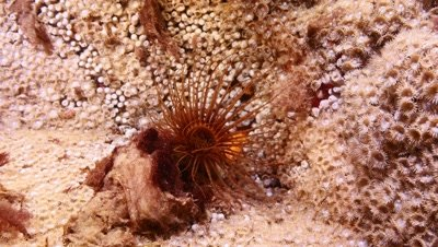 tube worm Fuerteventura Spain