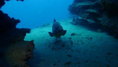 dusky grouper under arch Fuerteventura Spain