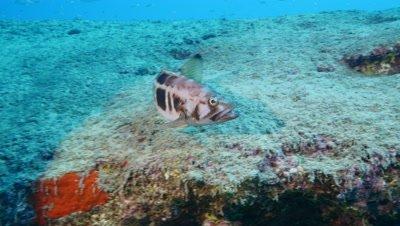 juvenile dusky grouper Fuerteventura Spain