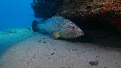 dusky grouper Fuerteventura Spain