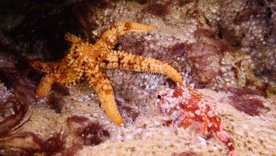 scorpionfish with sea star Fuerteventura Spain