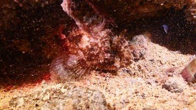 scorpionfish Fuerteventura Spain