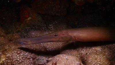 trumpetfish Fuerteventura Spain