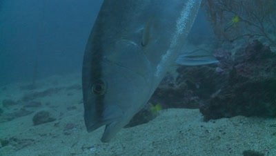 greater amberjack Malpelo Colombia