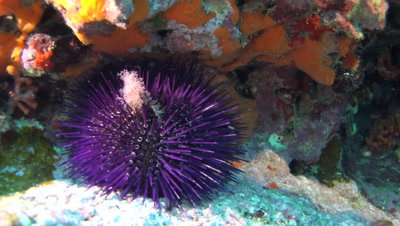 purple sea urchin  Mallorca Spain