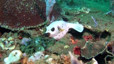 blackspotted puffer Negros Philippines