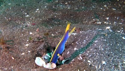 blue ribbon eel Negros Philippines
