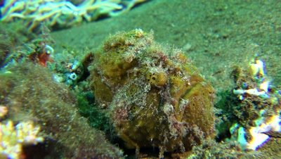 brown giant frogfish  Negros Philippines