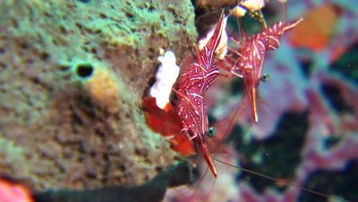 durban hinge beak shrimp Negros Philippines