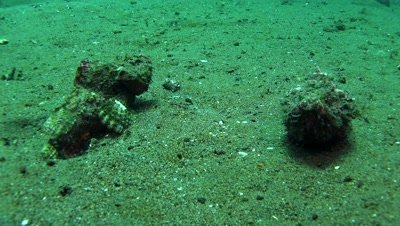 flasher scorpion fish Negros Philippnies