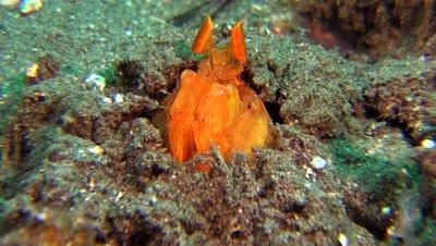 golden mantis shrimp Negros Philippnies