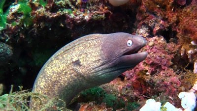 greyface moray eel Negros Philippnies