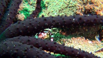 harlekin swimmer crab Negros Philippines