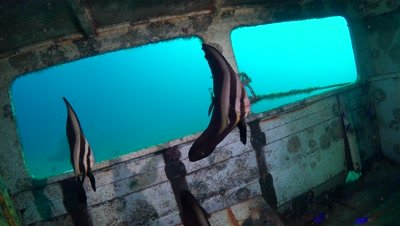 longfin batfish in ship wreck Negros Philippines