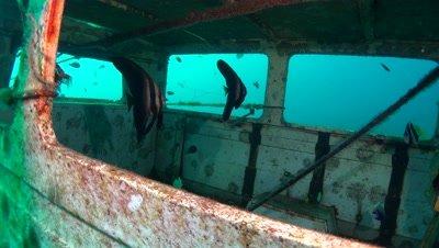 longfin batfish in ship wreck Negros Philippines