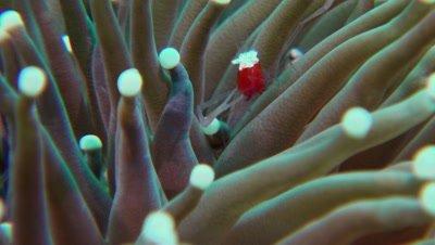 mushroom coral shrimp Negros Philippines