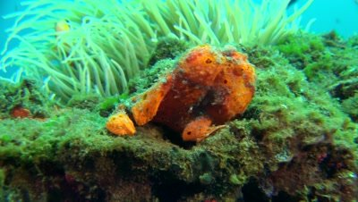 orange giant frogfish Negros Philippines