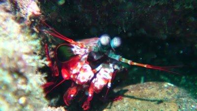 peacock mantis shrimp Negros Philippines
