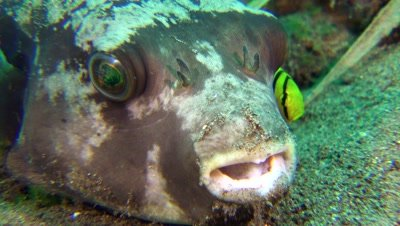 puffer fish Negros Philippines