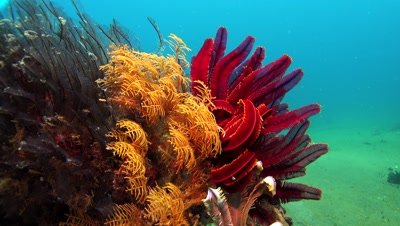 red feather star Negros Philippines