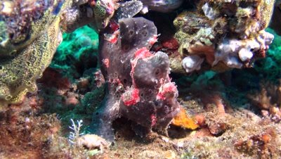 red giant frog fish Negros Philippines