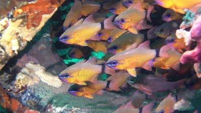 ring-tailed cardinalfish Negros Philippines