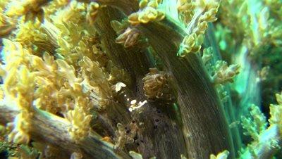 Sarasvati anemone Shrimp Negros Philippines