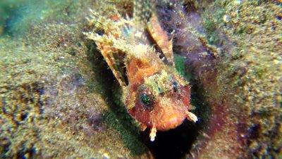 shortfin lionfish Negros Philippines