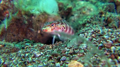 shrimp goby Negros Philippines