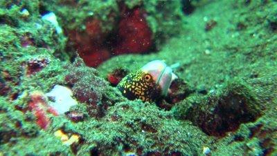 snowflake moray eel Negros Philippines