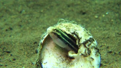 striped poison fanged blenny in shell housing Negros Philippnies