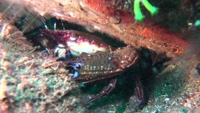 swimmer crab Negros Philippines