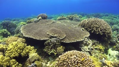 table coral Negros Philippnies