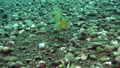 thornback cowfish Negros Philippines