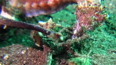 dead thorny seahorse eatne by shells Negros Philippines