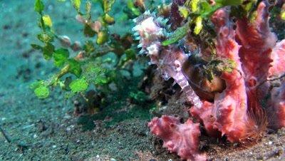 thorny seahorse Negros Philippines