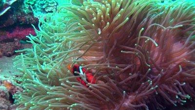 tomato clownfish Negros Philippines