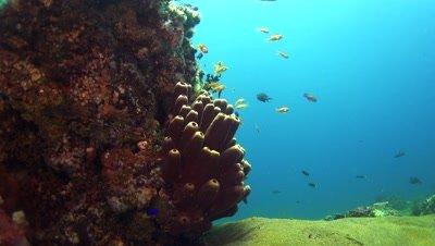 vase sponge Negros Philippines