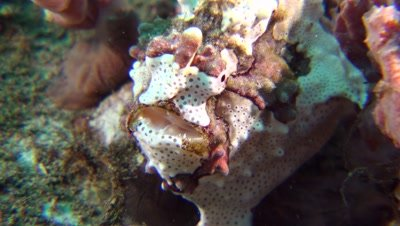 warty frog fish Negros Philippines