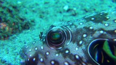 eye of whitespotted pufferfish Negros Philippines
