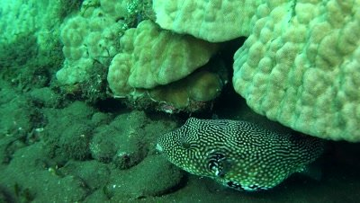 whitespotted puffer fish Negros Philippines