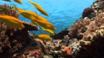 Coral Reef Scene With Yellow Goatfish Swimming By