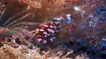 Harlequin Crab Resting In Softcoral