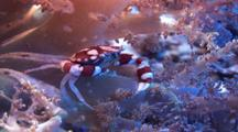 Harlequin Crab Resting In Soft Coral