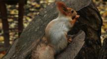 Squirrel, Possibly Eurasian Red Squirrel, On A Tree Stump Eats Nuts And Seeds