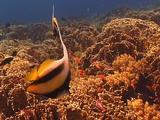 Bannerfish Over Reef