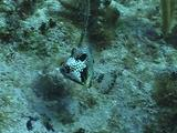 Smooth Trunkfish, Making Nest