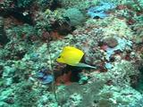 Longnose Butterflyfish Moving Along Reef